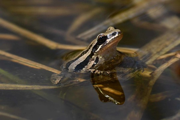Western Chorus Frog -- Pseudacris triseriata triseriata