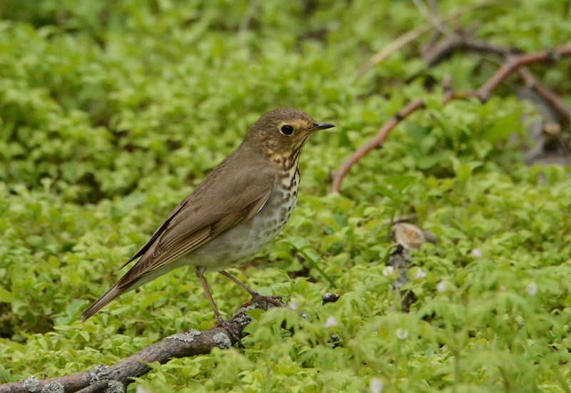 "Swainson's Thrush -- Catharus ustulatus, migrant heading north<br /> <br /> 'And better is a temple made of bark and thong<br /> Than a tall stone temple that may stand too long.' ~ Orrick Johns, ""Little Things"""