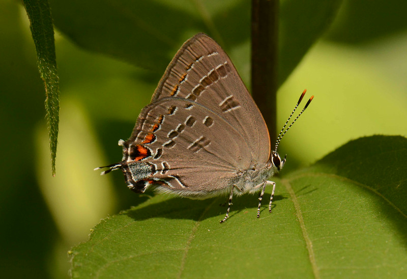 Hickory Hairstreak -- Satyrium caryaevorus<br /> <br /> 'I thank you God for this most amazing day, for the leaping greenly spirits of trees, and for the blue dream of sky and for everything which is natural, which is infinite, which is yes.' ~ e. e. cummings