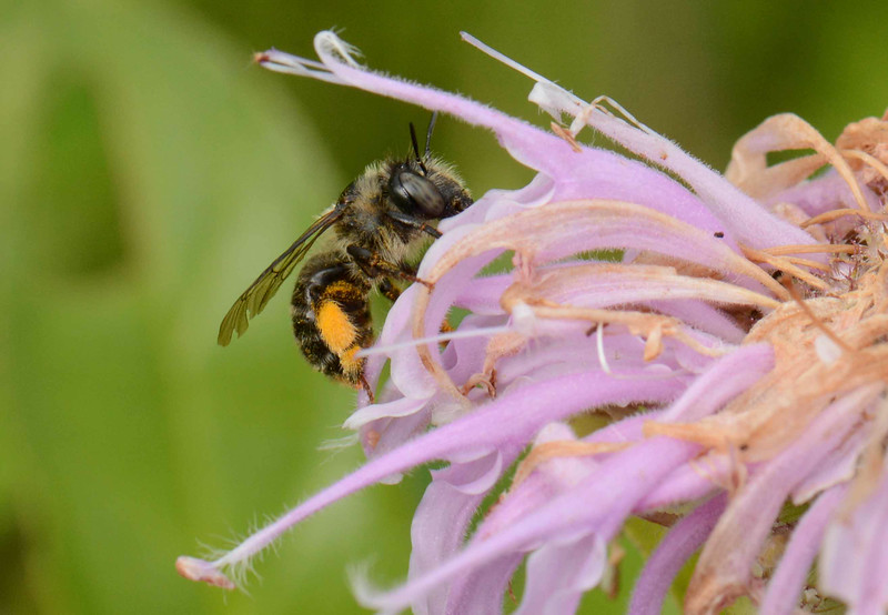 "Wild Bergamot -- Monarda fistulosa, draws a solitary Digger Bee, Anthrophora spp.<br /> <br /> ""Our treasure lies in the beehive of our knowledge. We are perpetually on the way thither, being by nature winged insects and honey gatherers of the mind."" ~ Friedrich Nietzsche"