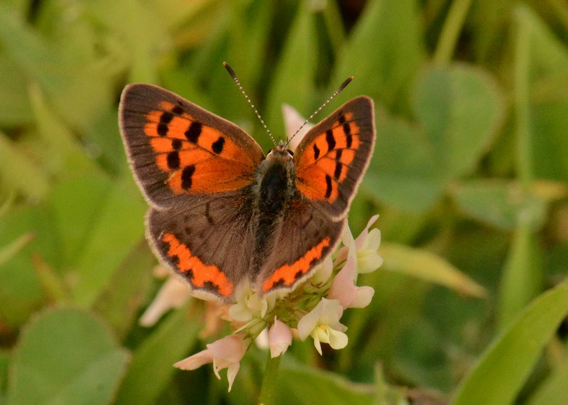 """American Copper, eastern morph -- Lycaena phlaeas, on some alien clover<br /> <br /> """"Some of nature's most exquisite handiwork is on a miniature scale, as anyone knows who has applied a magnifying glass to a snowflake."""" ~ Rachel Carson"""