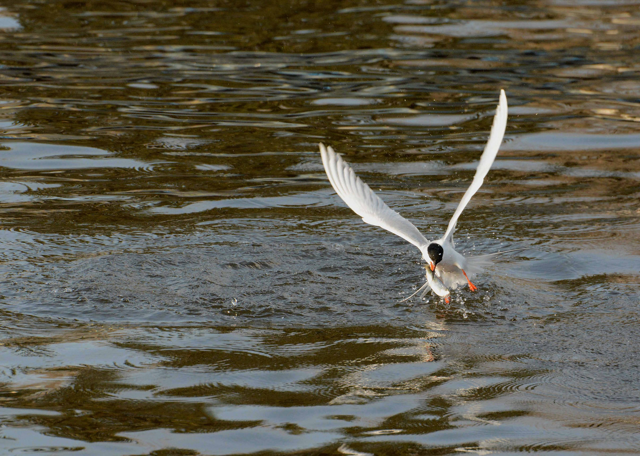 "Forster's Tern -- Sterna forsteri, endangered in IL<br /> <br /> 'And pictures in our eyes to get<br /> Was all our propagation.' ~ John Donne, ""The Extasie"""