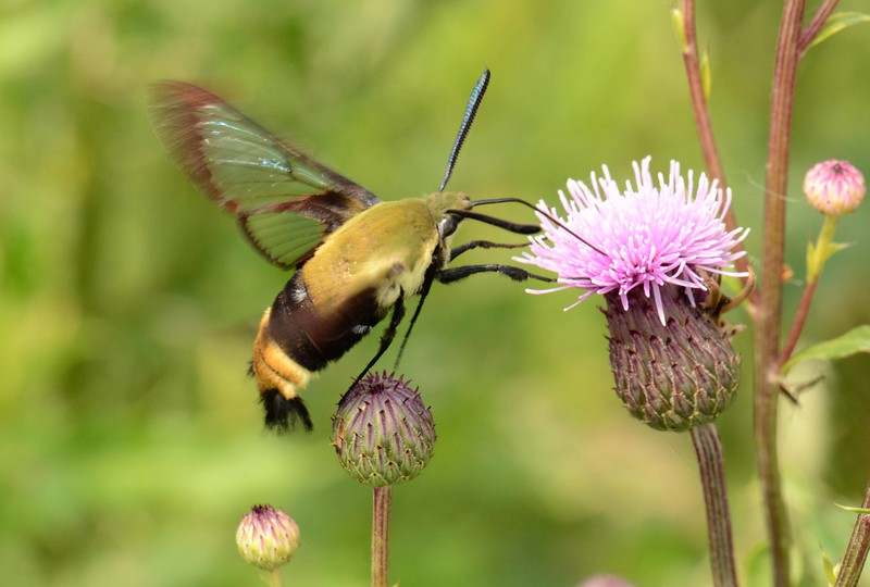Snowberry Clearwing -- Hemaris diffinis, Hodges# 7855 MPG 228450