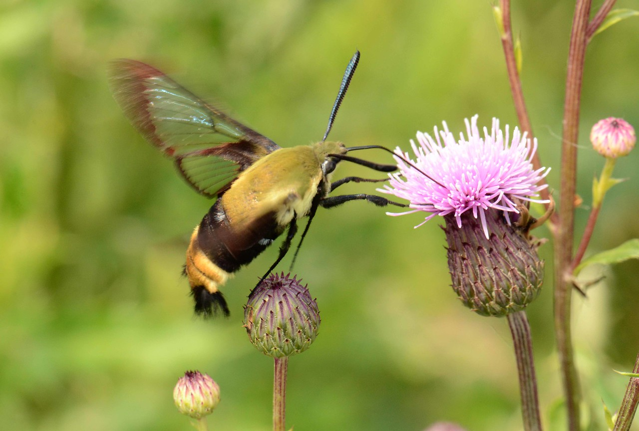 Snowberry Clearwing -- Hemaris diffinis, Hodges# 7855 MPG 228450, visiting the Ironweed -- Vernonia spp.