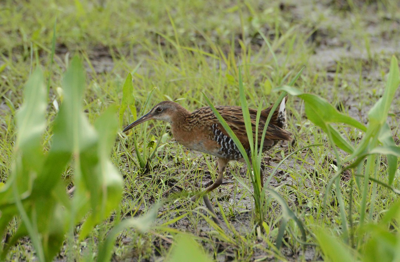 King Rail (f) -- Rallus elegans, a rarity in our area, populations have declined by about 90% since 1966.
