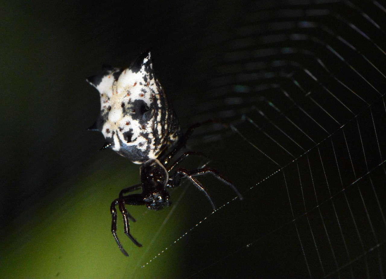 """Spined Micrathena (f) -- Micrathena gracilis, nears the completion of her orb<br /> <br /> 'I live my life in widening circles<br /> that reach out and cross the world.<br /> I may not complete this last one <br /> but I give myself to it.<br /> <br /> I circle around God, around the primordial tower.<br /> I've been circling for thousands of years<br /> and I still don't know: am I a falcon,<br /> a storm, or a great song?' ~ """"Widening Circles"""" by Rainer Maria Rilke, translation by Joanna Macy and Anita Barrows"""