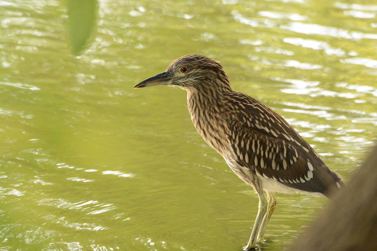 juvenile Black-crowned Night Heron -- Nycticorax nycticorax<br /> <br /> 'Justice is the only worship.<br /> Love is the only priest.<br /> Ignorance is the only slavery.<br /> Happiness is the only good.<br /> The time to be happy is now,<br /> The place to be happy is here,<br /> The way to be happy is to make others so.' ~ Robert Green Ingersoll, Creed.