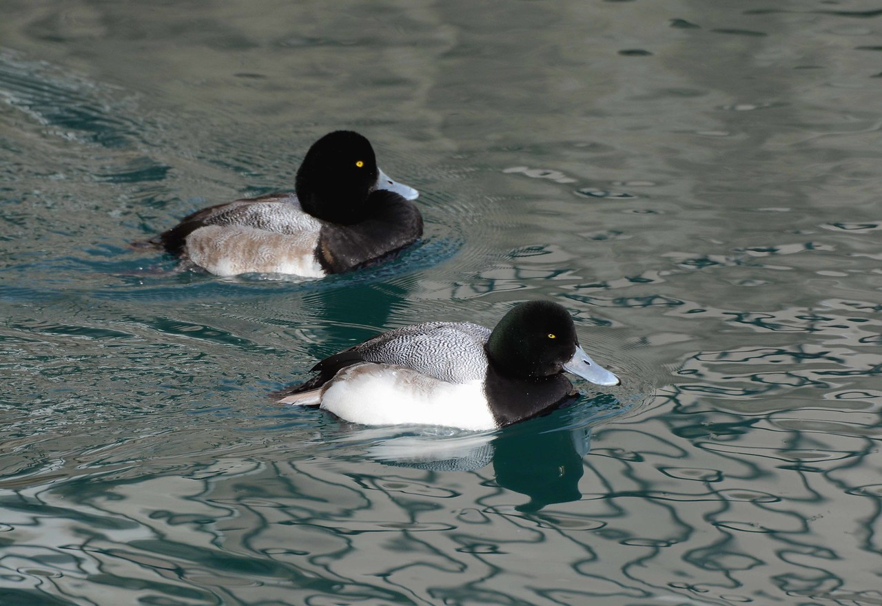 "Greater Scaup  -- Aythya marila, adult male in foreground, 1st winter male aport<br /> <br /> ""Animals are such agreeable friends -- they ask no questions, they pass no criticisms."" ~ George Elliot"