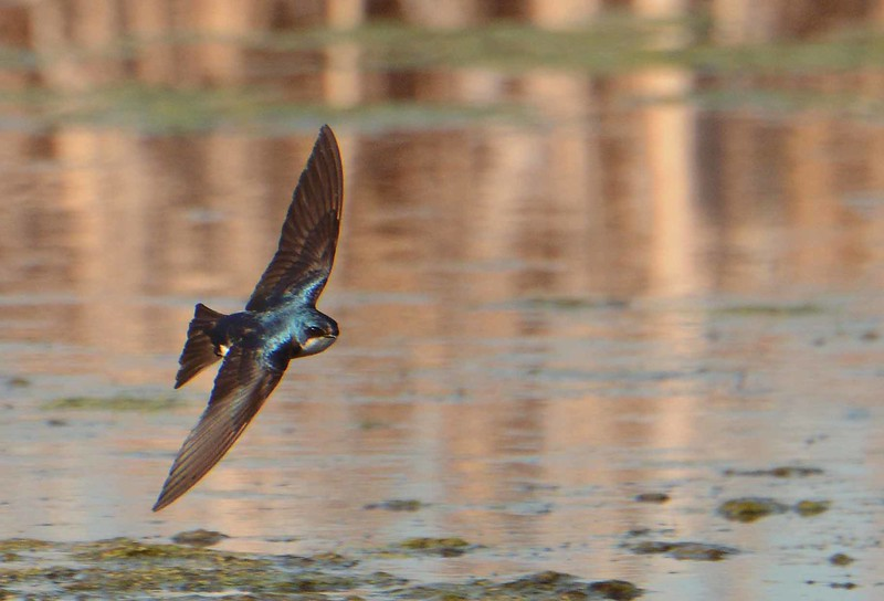 "Tree Swallow -- Tachycineta bicolor<br /> <br /> ""One swallow does not make a spring, nor does one fine day."" ~ Aristotle"