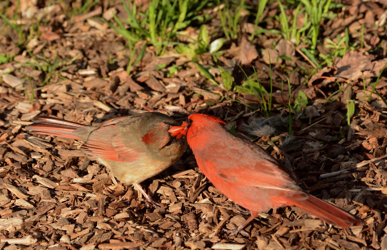 Northern Cardinals -- Cardinalis cardinalis, male passing food to mate