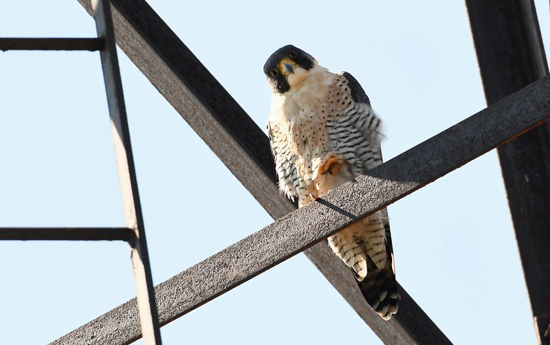 Peregrine Falcon (m) -- Falco peregrinus, added to federally endangered species list 1973, removed in 1999. Threatened in IL until 2015. Peregrine recovery is an important story. From leg bands, this one is a two-year old male born in Columbus, OH.