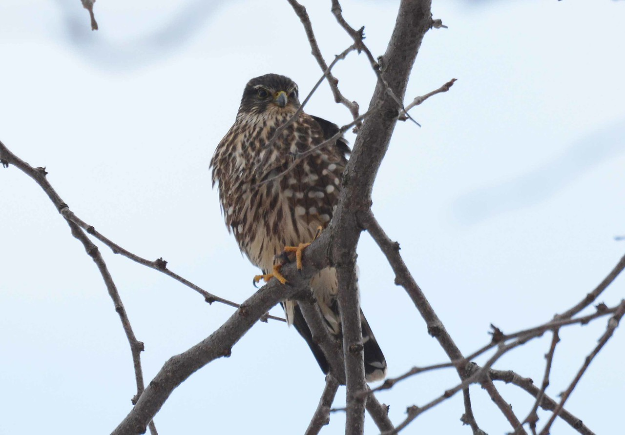"Merlin (f) -- Falco columbarius<br /> <br /> ""We're not some other generic place — we're Chicago. We're this land of prairies and wetlands and Lake Michigan and rivers, and there's a richness and identity to that we often overlook, over-pave and over-develop."" ~ Aaron Durnbaugh"
