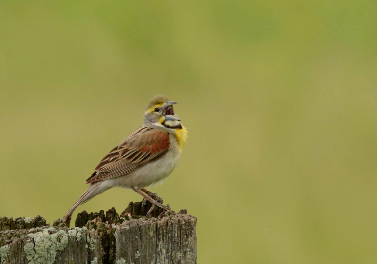 "Dickcissel (m) -- Spiza americana, making stump speech in Midewin National Tallgrass Prairie<br /> <br /> ""What then are the situations, from the representation of which, though accurate, no poetical enjoyment can be derived? They are those in which the suffering finds no vent in action: in which a continuous state of mental distress is prolonged, unrelieved by incident, hope, or resistance, in which there is everything to be endured, nothing to be done."" ~ Matthew Arnold"