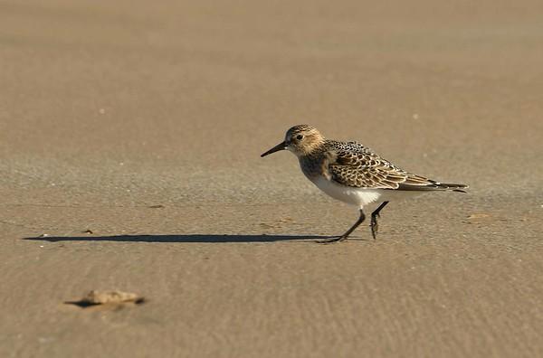 juvenile Baird's Sandpiper -- Calidris bairdii, journeying south...