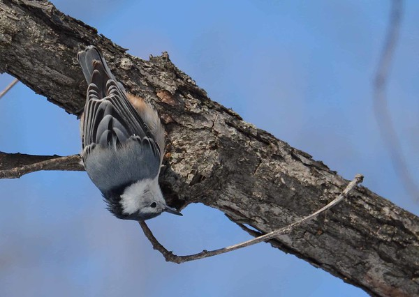 """White-breasted Nuthatch -- Sitta carolinensis  'You must revise Your bland philosophy of nature, earth Has of itself no power to make men wise.' ~ from """"Autumn on the Land"""" by R. S. Thomas"""