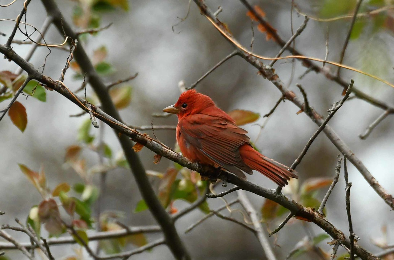 Summer Tanager (m) -- Piranga rubra, surveying the scene after a brief hailstorm
