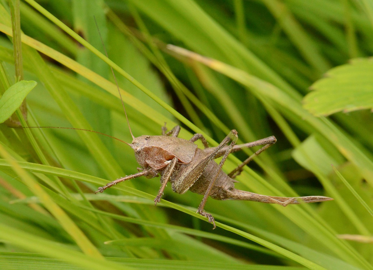 "female Cricket, i think Bush Cricket subfamily Eneopterinae<br /> <br /> ""I am not afraid of the pen, or the scaffold, or the sword. I will tell the truth wherever I please."" ~ Mother Jones"