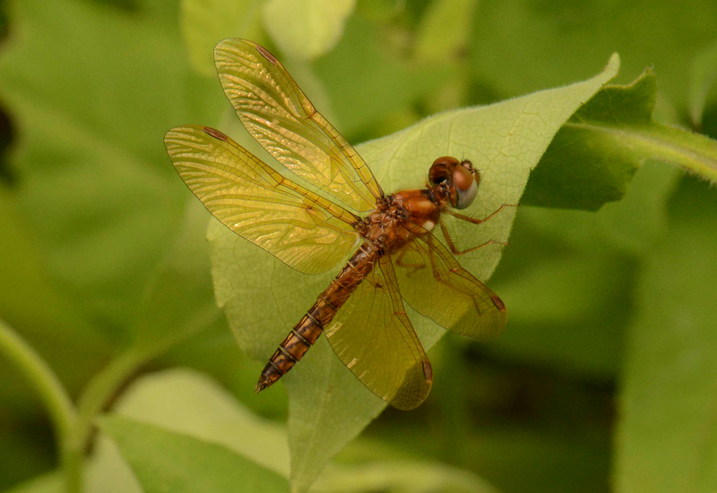 """Eastern Amberwing (m) -- Perithemis tenera<br /> <br /> 'They built with bronze and gold and brawn,<br /> The inner vision still denied;<br /> Their conquests ... ask oblivion! ...<br /> They had no poet, and they died.' ~ from """"They Had No Poet ..."""" by Don Marquis"""