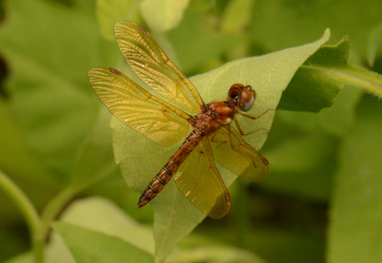 "Eastern Amberwing (m) -- Perithemis tenera<br /> <br /> 'They built with bronze and gold and brawn,<br /> The inner vision still denied;<br /> Their conquests ... ask oblivion! ...<br /> They had no poet, and they died.' ~ from ""They Had No Poet ..."" by Don Marquis"