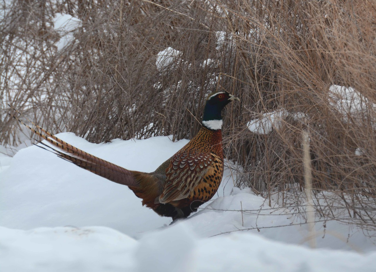 """Ring-necked Pheasant (m) -- Phasianus colchicus, non-native introduced as a game bird to the US in the 1880s.<br /> <br /> """"Our ability to perceive quality in nature begins, as in art, with the pretty.  It expands through successive stages of the beautiful to values as yet uncaptured by language."""" ~ Aldo Leopold"""