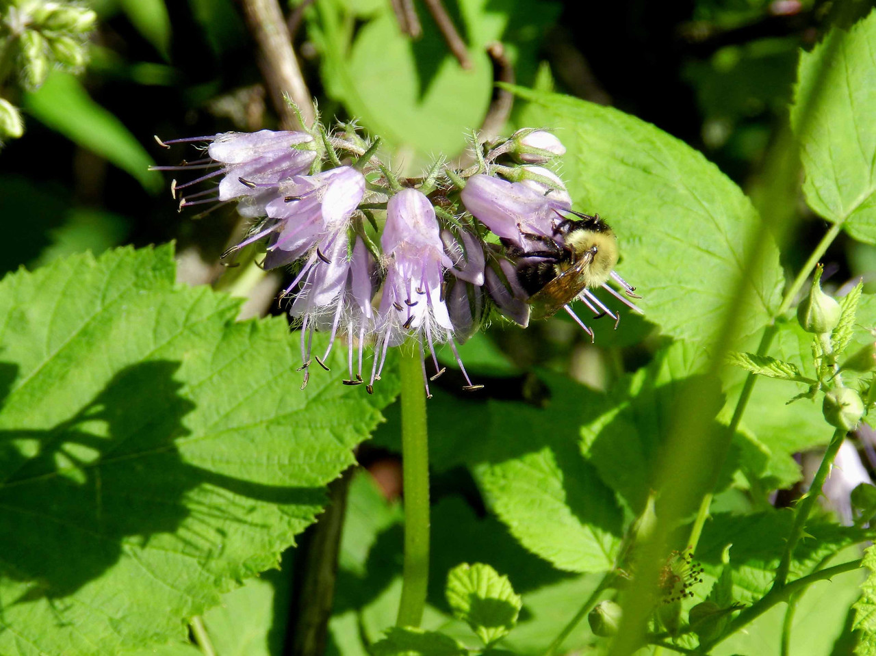 Virginia Waterleaf -- Hydrophyllum virginianum, a native perennial<br /> <br /> Their nectar attracts long-tongued bees and bumble bees. The pollinator here appears to be a kind of Cuckoo bee as it has no pollen baskets. Cuckoo bees lay their eggs in the nests of other bumble bees.