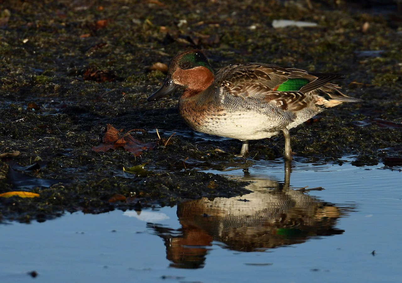 "Green-winged Teal (m) -- Anas crecca<br /> <br /> ""Truth is as impossible to be soiled by any outward touch as the sunbeam."" ~ John Milton"