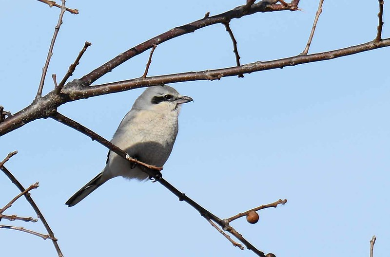Northern Shrike -- Lanius excubitor, the 'butcher watchman', returning to hunt after caching rodent prey. <br /> <br /> 'Quis custodiet ipsos custodes?' ~ Juvenal (Who will watch the watchmen?)