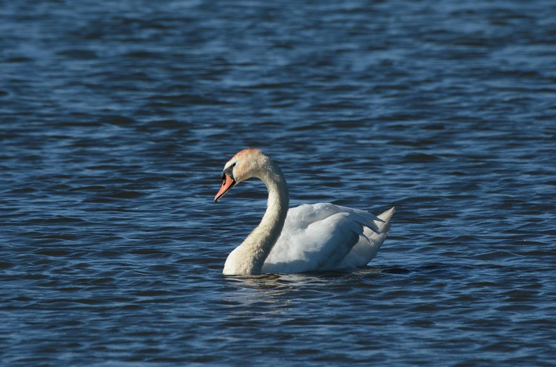"Mute Swan -- Cygnus olor<br /> <br /> 'The Silver Swan, who, living, had no Note,<br /> when Death approached, unlocked her silent throat.<br /> Leaning her breast upon the reedy shore,<br /> thus sang her first and last, and sang no more:<br /> ""Farewell all joys! O Death, come close mine eyes!<br /> More Geese than Swans now live, more Fools than Wise.""' ~ from ""The Silver Swan"" by Orlando Gibbons"