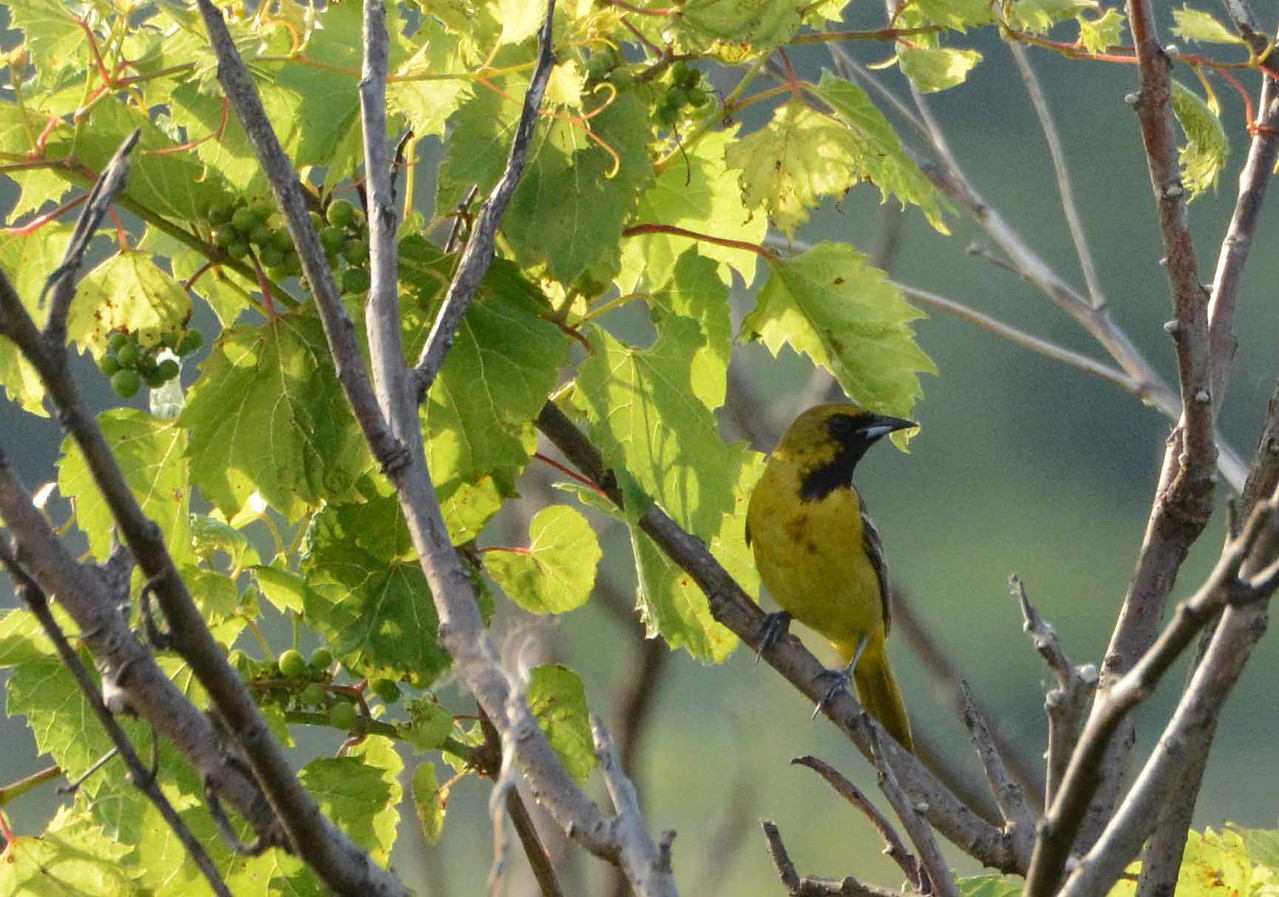 Orchard Oriole (1st summer male) -- Icterus spurius, checking on the fruit