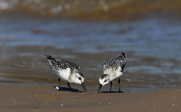 Sanderlings -- Calidris alba