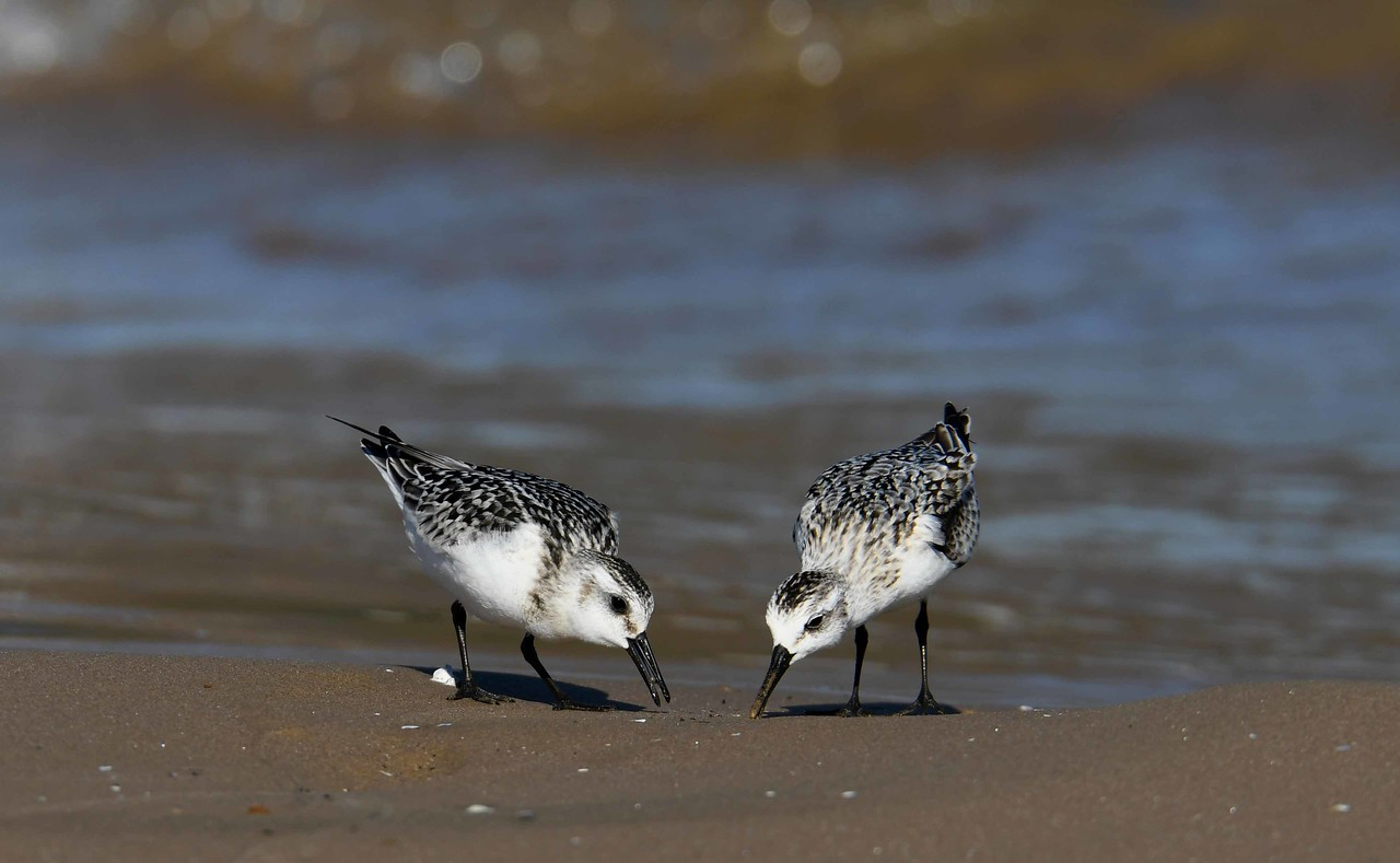 Sanderlings -- Calidris alba