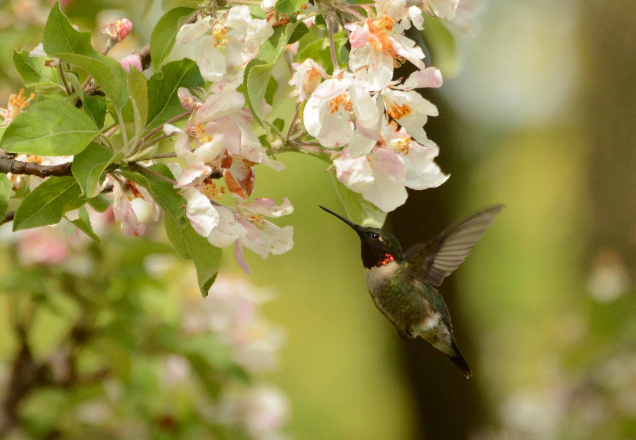 "Ruby-throated Hummingbird (m) -- Archilochus colubris, visiting Crabapple<br /> <br /> '...My heart in hiding<br /> Stirred for a bird,  - the achieve of, the mastery of the thing!' ~ from ""Windhover"" by Gerard Manley Hopkins"