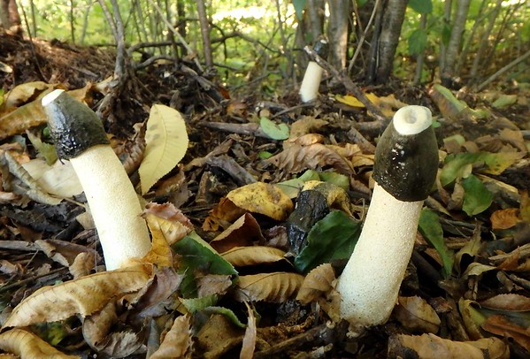 Ravenel's Stinkhorns -- Phallus ravenelii. Spores are concentrated in the fragrant green slime cap that attracts insects needed for dispersal.