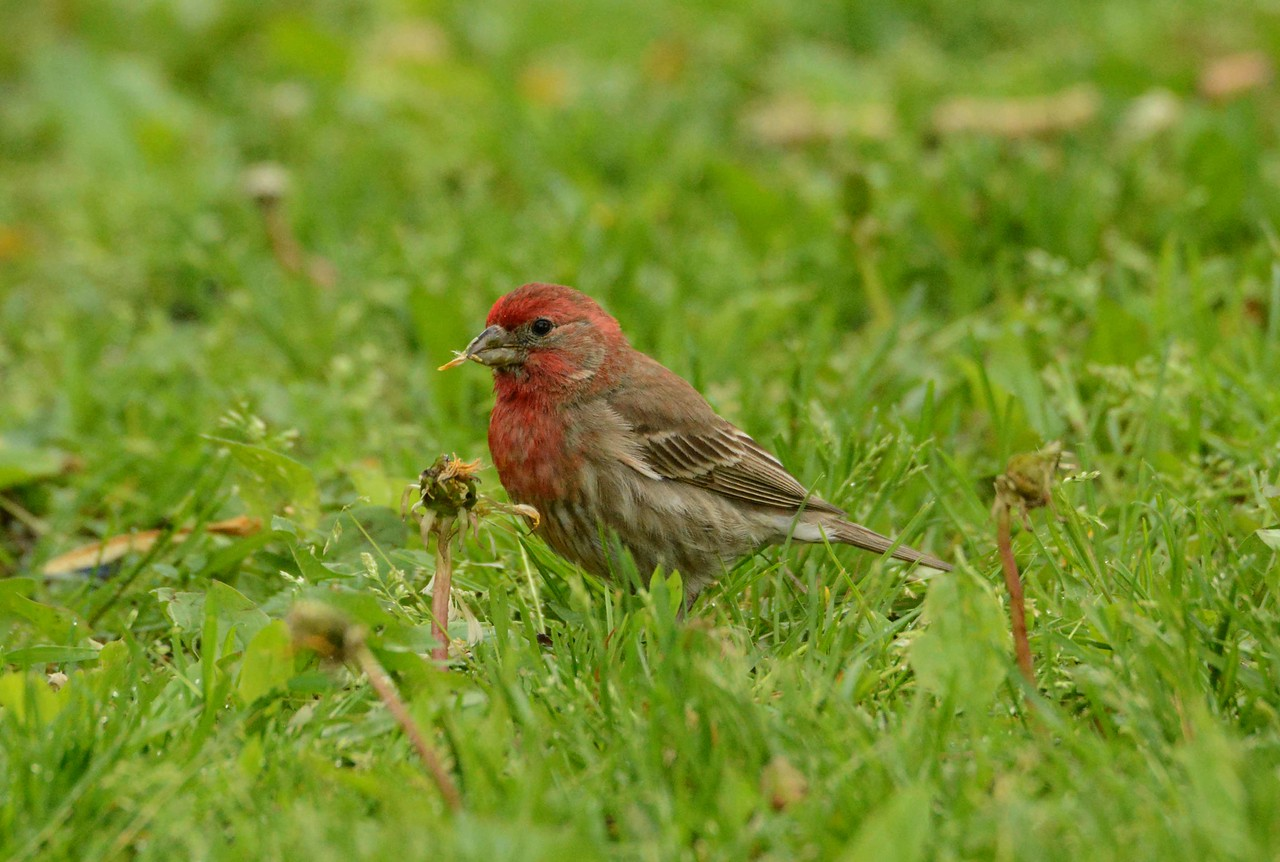 "House Finch (m) -- Haemorhous mexicanus, eating dandelion seeds<br /> <br /> ""In the spring, at the end of the day, you should smell like dirt."" ~ Margaret Atwood"