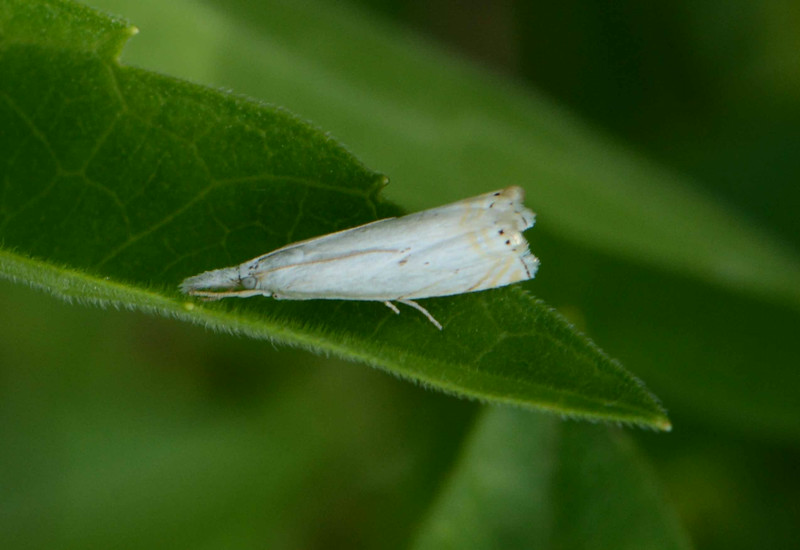 Small White Grass-Veneer -- Crambus albellus, Hodges# 5361 MPG 159775<br /> <br /> '...Look on beauty and you shall see tis purchased by the weight; which therein works a miracle in nature, making them lightest that wear the most of it...' (Bassanio) ~ Shakespeare, Merchant of Venice [III, 2].