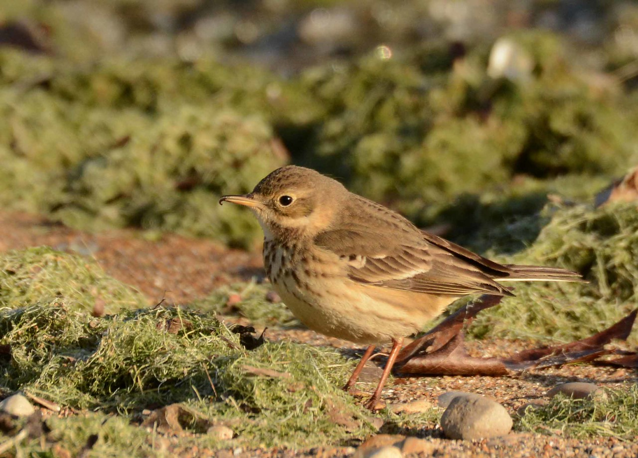 "American Pipit -- Anthus rubescens, far northern breeder foraging on a lakefront algal mat during migratory stopover.<br /> <br /> 'When the young farm laborer<br /> steals the roses for his wife<br /> we know for certain he'll find<br /> her beyond their aroma<br /> or softness. We can almost<br /> feel with how soft a step<br /> he approaches the cottage ...' ~ from ""Winter Words, Manhattan"" by Philip Levine"