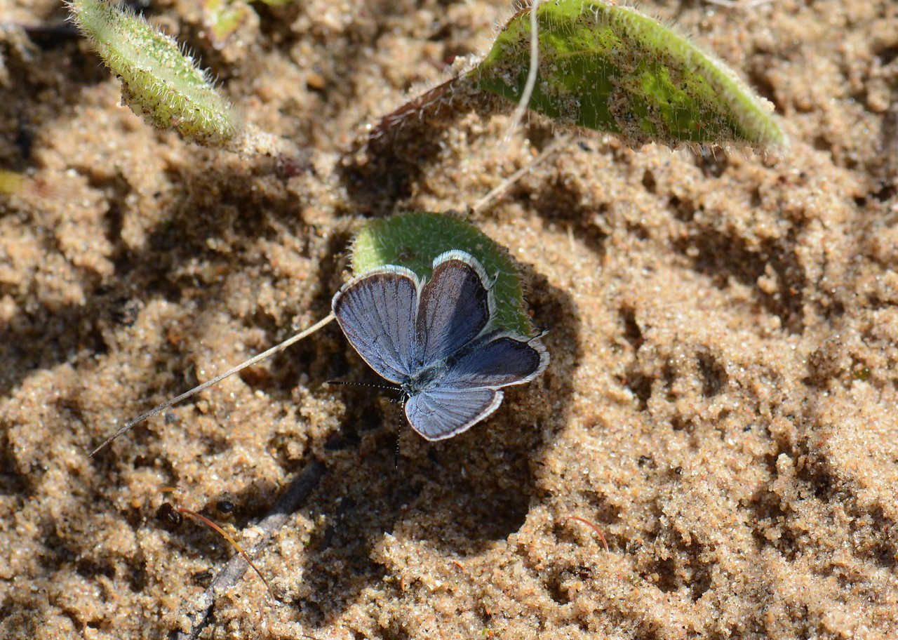 """Eastern Tailed Blue (m) -- Cupido comyntas<br /> <br /> Keeper:  What is your favorite color?<br /> Galahad:  Blue. No, yelloowwwww... ~ """"Monty Python and the Holy Grail"""", scene 35."""