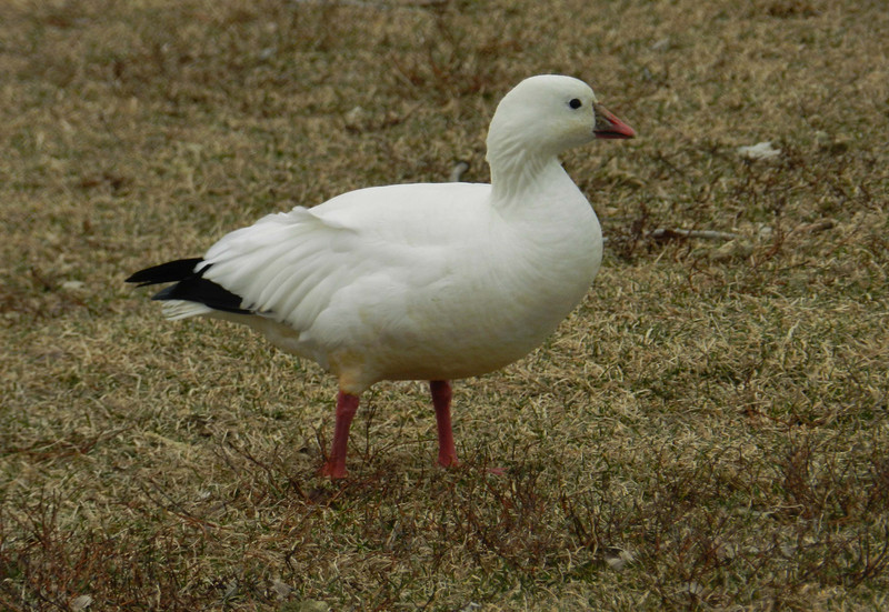 "Ross's Goose -- Chen rossii, smaller relative of the Snow Goose.<br /> <br /> ""We are not going to change the whole world, but we can change ourselves and feel as free as birds..."" ~ Swami Satchidananda, The Yoga Sutras."