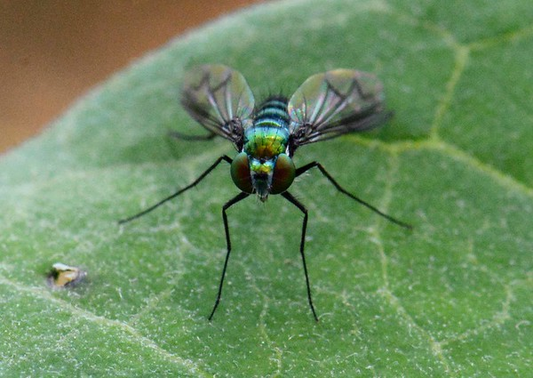 Long-legged Fly, Family Dolichopodidae, 1288 described species in North America