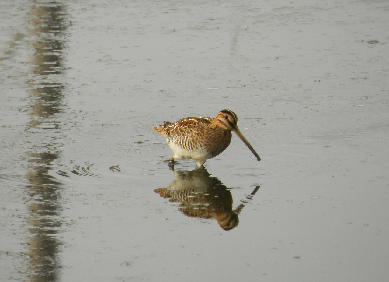 Wilson's Snipe -- Gallinago delicata<br /> <br /> 'I love the blush of early morn,<br /> That beams with rosy hue;<br /> When sparkling o'er the verdant lawn,<br /> It gems the crystal dew...' ~ William Tappan