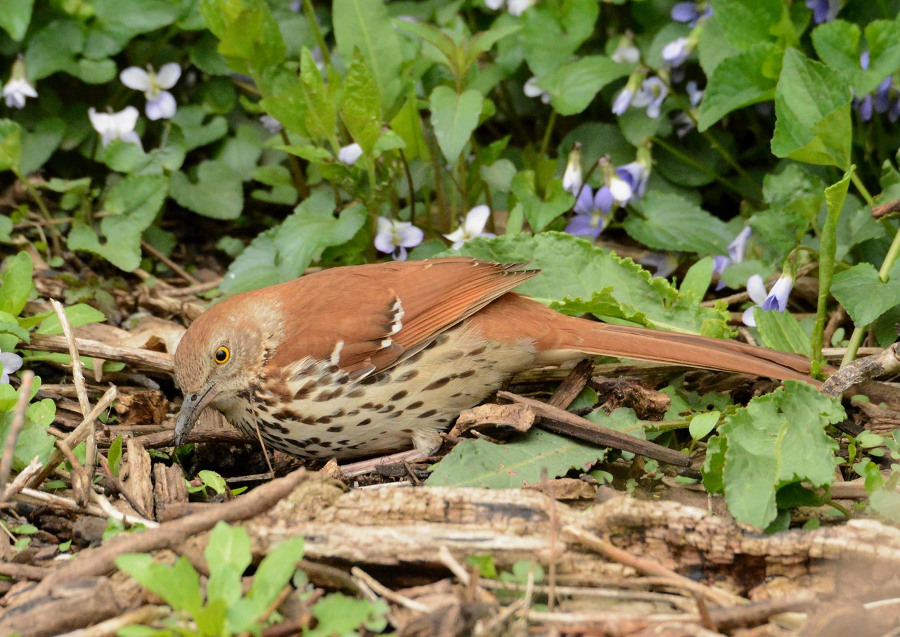 "Brown Thrasher -- Toxostoma rufum, treasure hunting in the ground cover<br /> <br /> ""To hear the clear, flowing notes and phrases of this remarkable long-tailed songster is quite an experience: I could almost call it an epiphany."" ~ Ora E. Anderson, ""Out of the Woods"""