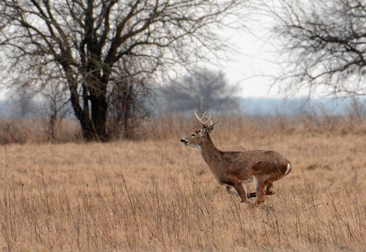 "This buck didn't stop here (white-tailed speeds top out around 47 mph). By the late 1800s White-tailed Deer were nearly extinct in IL. Today, with few natural predators, their numbers are higher than when European settlers first arrived, and hunting and other forms of culling are essential.<br /> <br /> ""The truth, of course, is that there is no journey. We are arriving and departing all at the same time."" ~ David Bowie"