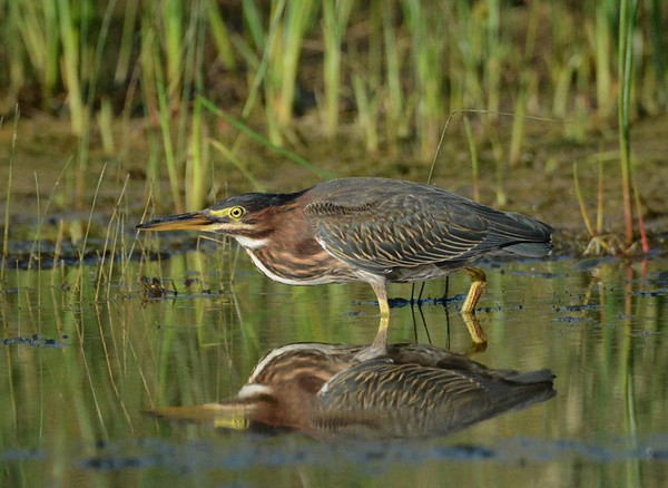 """Green Heron -- Butorides virescens  """"Man is a complex being:  he makes deserts bloom, and lakes die."""" ~ Gil Scott-Heron"""