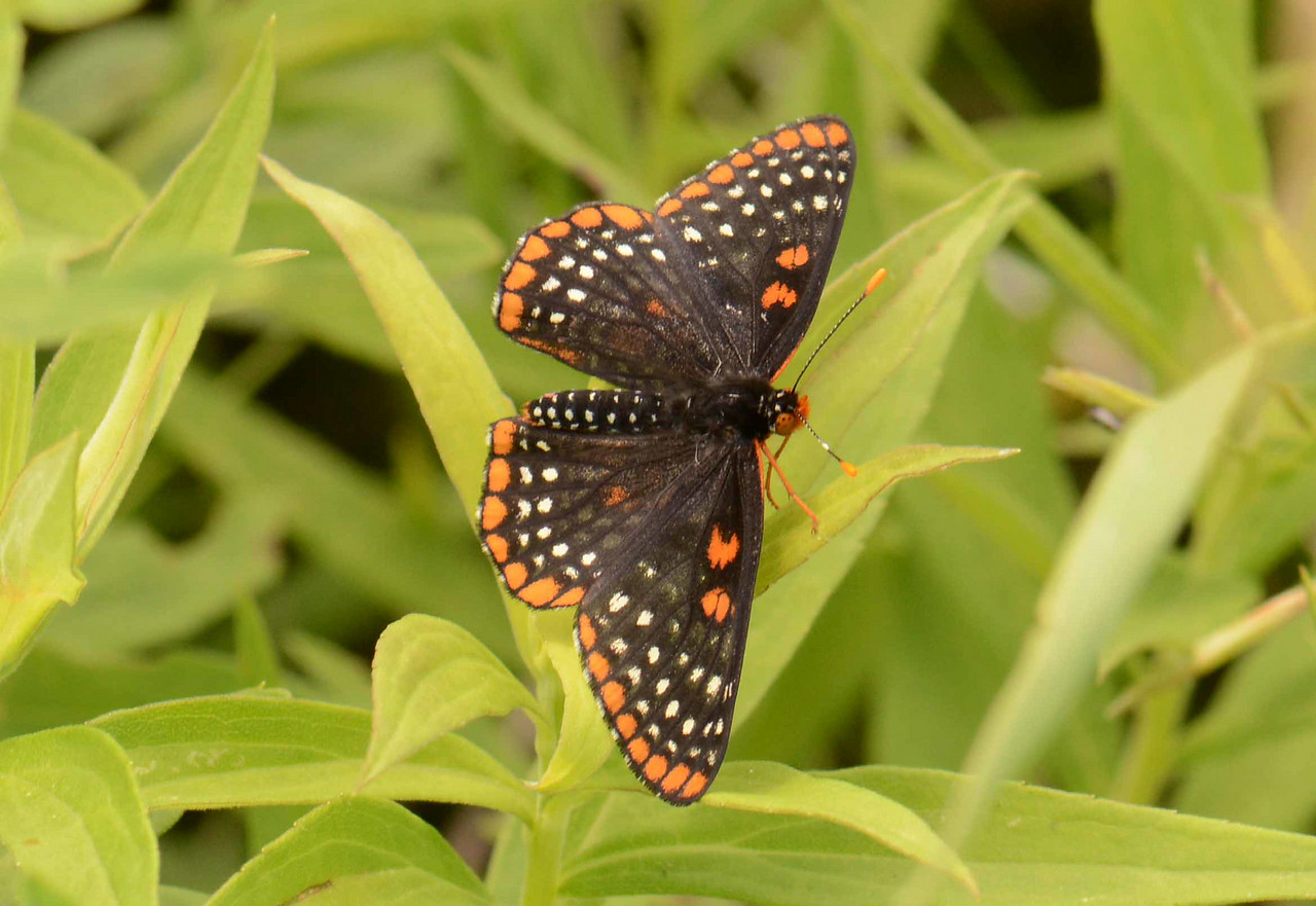 "Baltimore Checkerspot -- Euphydryas phaeton -- the state butterfly of Maryland was once common but is now rare there.<br /> <br /> ""Man needs colour to live; it's just as necessary an element as fire and water."" ~ Fernand Leger"