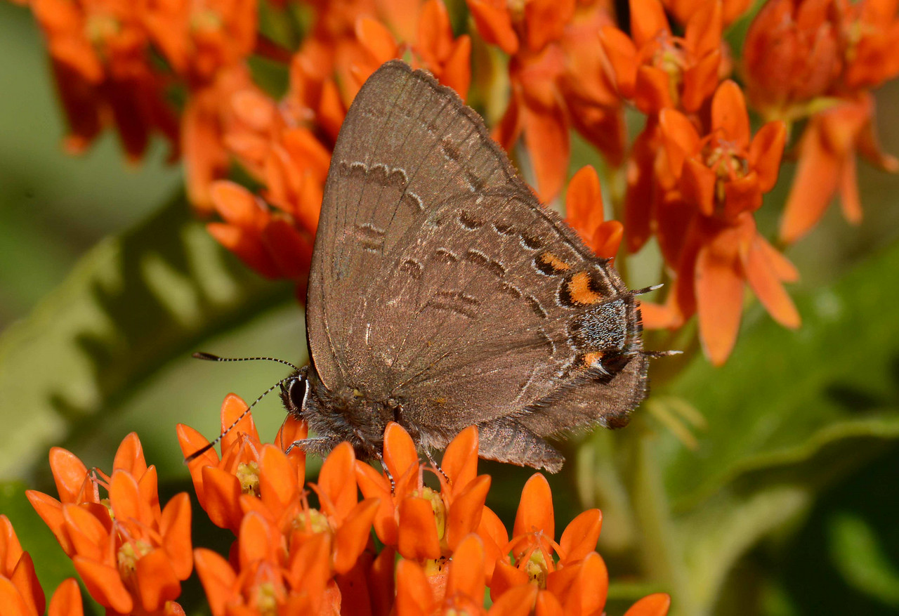 Banded Hairstreak -- Satyrium calanus, visiting Butterfly-weed -- Asclepias tuberosa<br /> <br /> 'What sport shall we devise here in this garden, to drive away the heavy thought of care?' ~ Shakespeare, Richard II [III, 4].