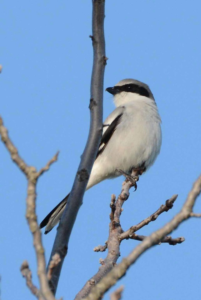 """Loggerhead Shrike -- Lanius ludovicianus, endangered in IL.<br /> <br /> """"I think there's a kind of desperate hope built into poetry now that one really wants, hopelessly, to save the world. One is trying to say everything that can be said for the things that one loves while there's still time. I think that's a social role, don't you?"""" ~ William Stanley Merwin"""