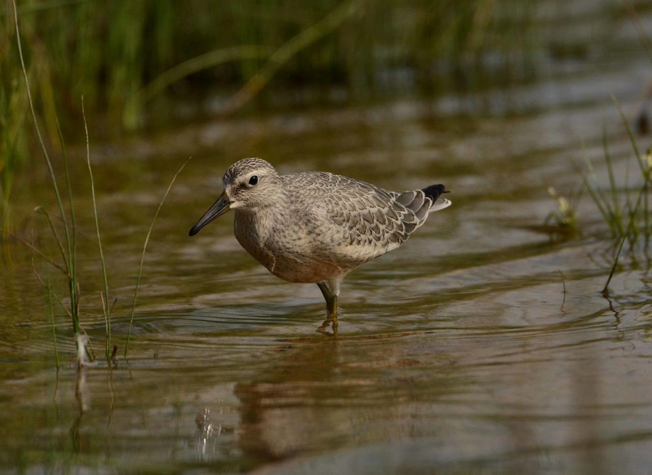 "juvenile Red Knot -- Calidris canutus. Largest N.A. peep has one of the longest migratory journeys. The oldest Red Knot on record is B95, the ""toughest four ounces on the planet"", still going strong at 21 years with over 350,000 miles flown.<br /> <br /> ""To live on an earth without fascinating, often beautiful creatures would be to live on a lesser earth. The trick is not to let them slip away, but to understand and help them on their terms."" ~ Phillip Hoose, ""Moonbird: A Year on the Wind with the Great Survivor B95"""