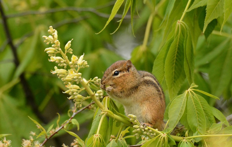 "Eastern Chipmunk -- Tamias striatus, eating buckeye flowers. i think this buckeye is Horse Chestnut -- Aesculus hippocastanum.<br /> <br /> ""To know fully even one field or one land is a lifetime's experience ... it is depth that counts, not width. A gap in a hedge, a smooth rock surfacing a narrow lane, a view of a woody meadow, the stream at the junction of four small fields – these are as much as a man can fully experience."" ~ Patrick Kavanagh"