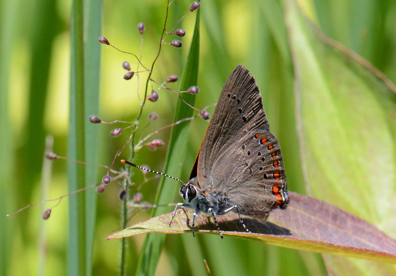 """Coral Hairstreak (eastern female) -- Satyrium titus. Titus what, more bromance? Let's not name anything else after infamous emperors. <br /> <br /> """"History is nothing but a pack of tricks that we play upon the dead."""" ~ Voltaire"""