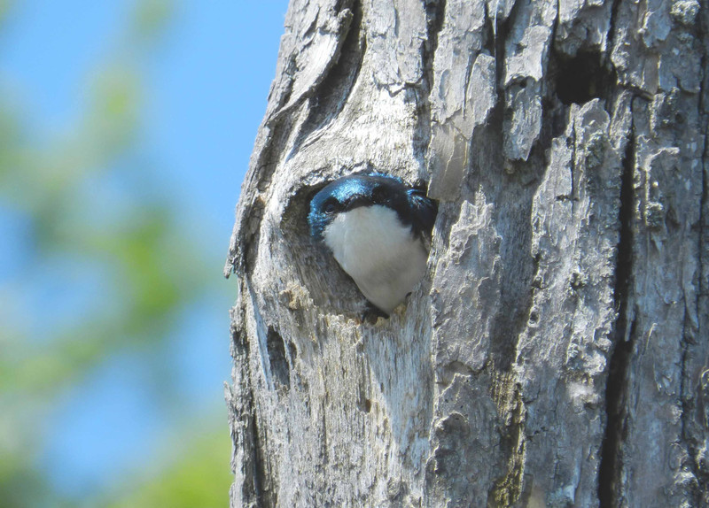 "Tree Swallows like wetland snags.<br /> <br /> ""One swallow does not make a spring, nor does one fine day."" ~ Aristotle"